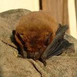 Pipistrelle commune (Wikipedia)